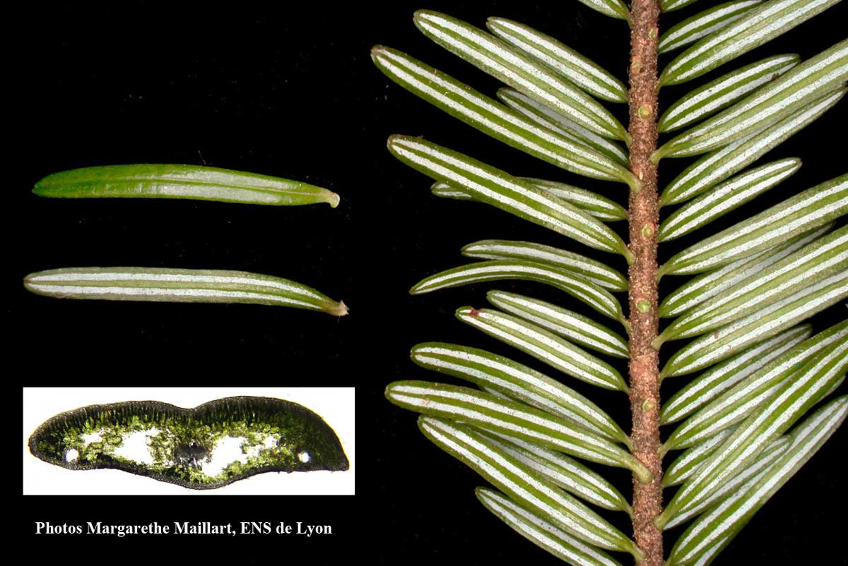 Fir needles details